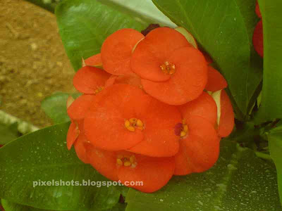 bigger euphorbia flowers,big red euphorbia milli flowers,red flower bunches,thorny garden plant with red flowers,garden plant with white sap and thorns,poisonous garden plants,garden plant with thorns and white sap,red flowers in potted garden plants of euphorbias,tropical ornamental plants,kerala flowers and plants,euphorbia in kerala gardens,euphobia,eufobia,ufobia flower