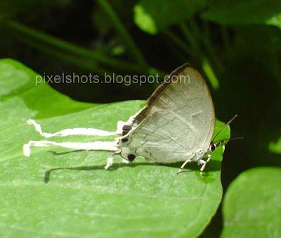 fluffy tit butterflies, indian butterflies, kerala butterfly photos, rare butterfly, butterfly tail, pakky, chitrashalabham, valulla pakky, poompatta, poombatta
