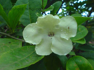 cream white flower photo closeup,unidentified garden flower of kerala india,tropical flowers