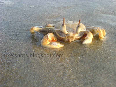 cute crab photograph taken from calicut beach in kerala,crab soaked in sea water laying over the beach sand,crabs in kerala beaches