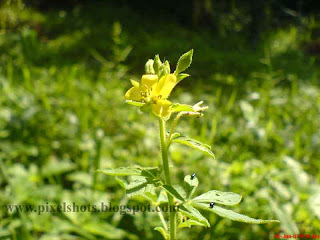 yellow small flower photo snap from garden plant, kerala flower photos from home gardens, flower name unidentified