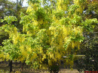 golden shower yellow flowers,flowering tree photos,kerala flower kanikonna