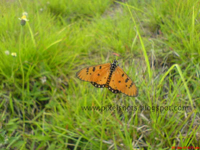 butterfly with yellow black dotted wings resting over plants taken in closeup mode from our college campus