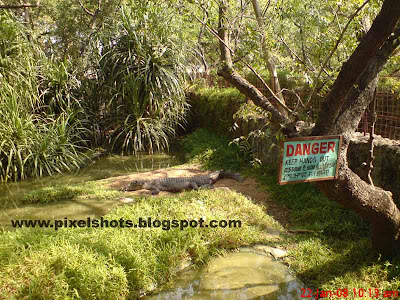 crocodile in crocodile pit from crocodile conservation and breeding bank of madras, lonely crocodile, crocodile park of India, reptiles of reptile park, chennai attractions, crocodiles of Indian zoos