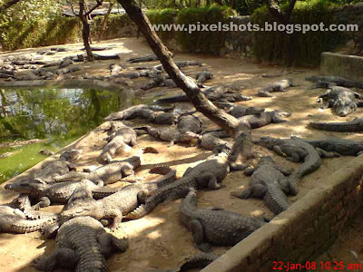 crocodiles from the crocodile conservation park of chennai india digital photo, reptiles, indian reptile zoo, zoo photos, carnivorous reptiles in India, reptile park of South India, breeding crocodiles in Indian parks, large number of crocodiles in croc pit of reptile park