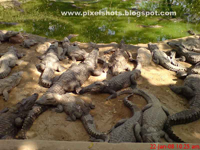 crocodiles closeup photograph from madras crocodile bank, close photos of reptiles, crocodile group close photos, conserving reptiles, world of crocodiles in India,Indian zoos, crocodile breeding parks,magarmach, muthala, cheenkanny,cheenganny