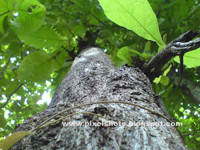 big tree trunk image of badam or almond tree photographed upshot