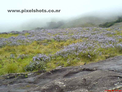 violet flowers of neelakurinjis spreaded on the mountain slopes in rajamala munnar kerala