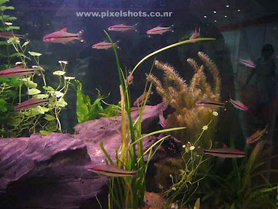 miss kerala aquarium fish found in kerala india,closeup aquarium photography from aquariums shop,Famous fishes of Kerala-Miss Kerala or puntis denisonii