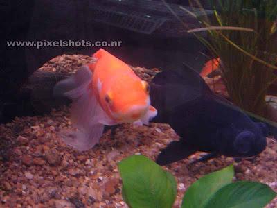 gold fish and black moor in aquarium fish tank,aquarium photography