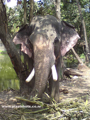 indian elephant tusker photograph from kerala