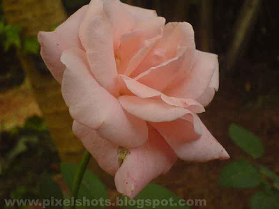 pink rose flower closeup photograph,photo of garden roseplant and flowers photographed in macro mode of digital camera