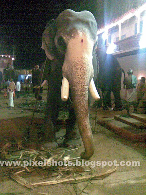 domestic trained temple tusker elephant gireesan,kerala-elephant-pictures,asian-elephants,indian-elephant