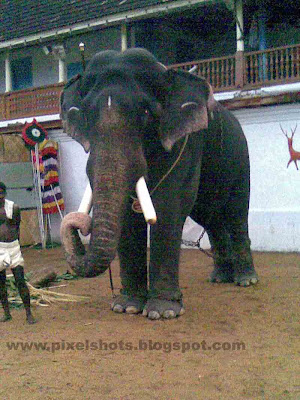 pampady rajan,gajarajan,keralas-elephant,good-elephant-of-kerala,elephant-gajarajan,kerala-elephant-photo