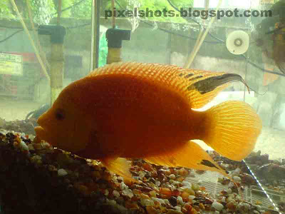 big-gold-fish-closeup-from-aquarium-fish-tank,golden carps in aquarium fish tank,fishes photographed from an aquarium supplier in cochin
