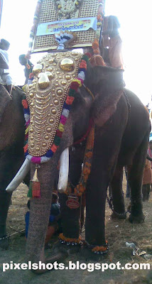 kerala temple elephant,domestic-elephant,elephants-kerala,elephant named tayamkavu manikandan