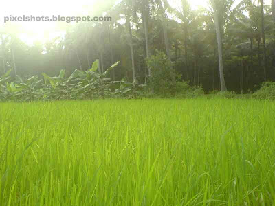 paddy cultivation pictures from kerala India,green paddy fields from indian state kerala,paddies