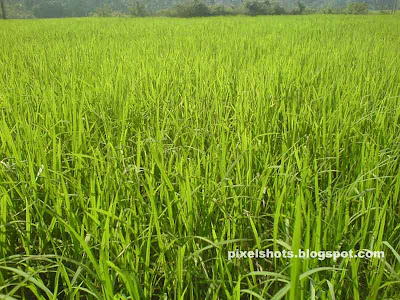 green lush paddy field photographs from kerala,rice fields photos in kerala,kerala rice cultivation photos
