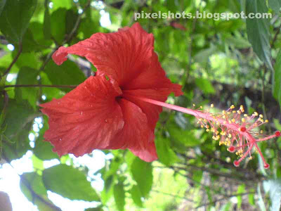 hibiscus or china rose flowers in india photos,indian red shoe flower photos