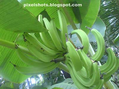 raw banana fruits,banana fruits hanging in plantain photographed,raw fruits of banana,fruits,kerala fruits,vazhakkula,vazha pazham,nendra pazham