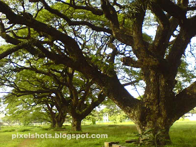 trees photographs,tree,maharajas college ground ernakulam,photography with cellphone cameras of sonyericsson