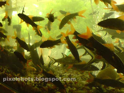 Aquariums giant gourami and silver sharks pixelshots for Small sharks for fish tanks