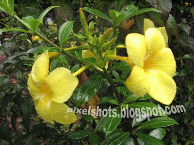 digital-camera-flower-photographs,yellow-twin-bell-flowers,closeup-flower-photo,kerala-flowers,garden-photography