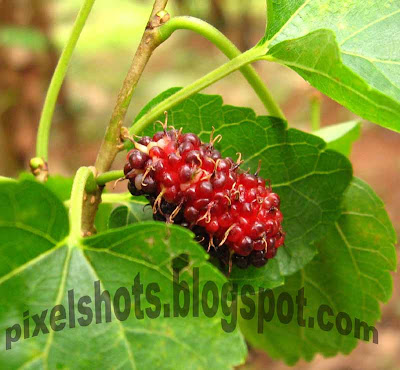morus-plant-fruit,mulberries,ripe-fruit,red-ripe-mulberry,kerala-mulberry,macro-photograph-ripefruit
