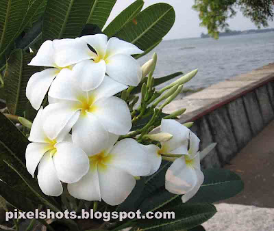 plumeria-flowers,frangipani-flower,white-flowers,chembaka-poovu,flower-photography,kerala-flowers,pala-poovu