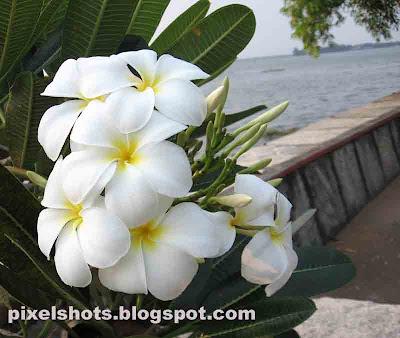 plumeria-flowers,frangipani-flower,white-flowers,chembaka-poovu,flower-photography,kerala-flowers,pala-poovu