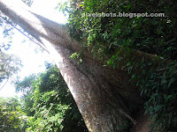 big trees in forests,weird shaped forest trees,Karanjili, scientifically known as Dipterocarpus bourdollonii, Dipterocarpaceae,malayalam common tree names,Karanjili,Charattaanjili,Karannili, Carattannili,Charantanjili