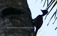 wood pecker on a coconut tree, a distant shadow photo of bird woodpecker,maramkothi or maram kothi of kerala india,kerala bird photo