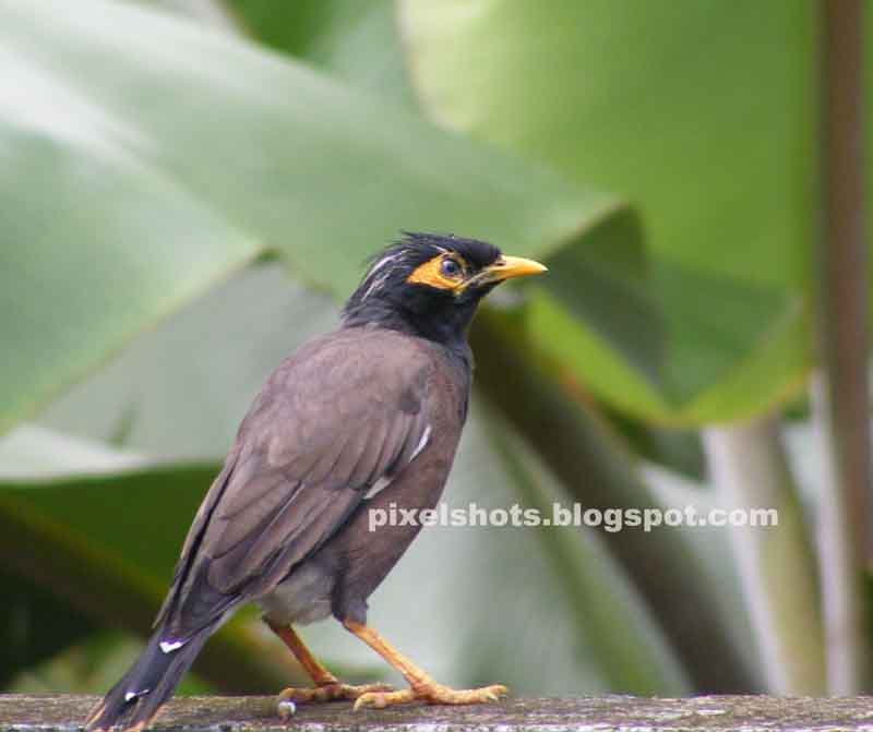 mynah-myna-mina-maina,indian maina bird,single common mina sitting on a cement wall,grey feathers-black head feather-yellow-eye lash-yellow legged bird,singing-talking-pet-bird,indian cage bird,bird pet