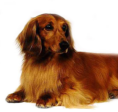 Gijsje the Longhaired Daschund Pictures 15879. Comment. |. Give Biscuits