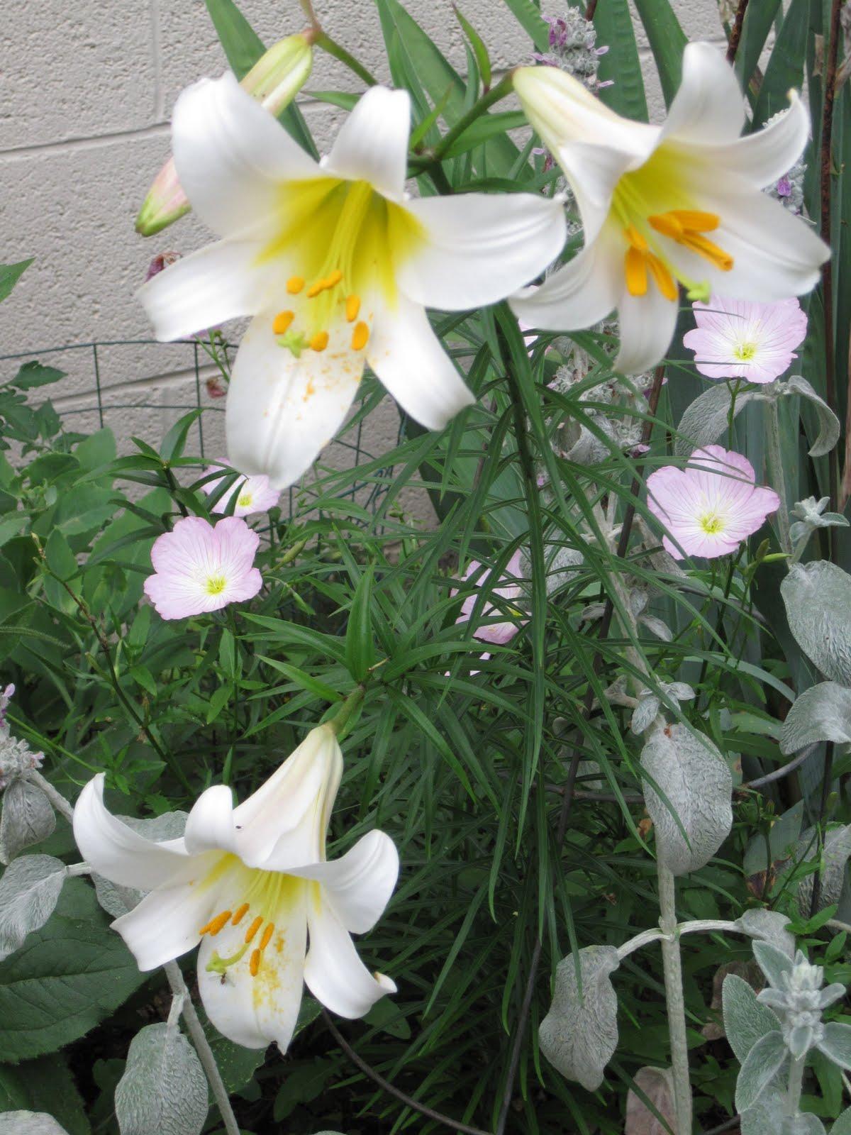 http://2.bp.blogspot.com/_REFQsoWO0rY/TArC8vAzpBI/AAAAAAAAAMM/GRck56-JgNw/s1600/Lily%2B2010.JPG