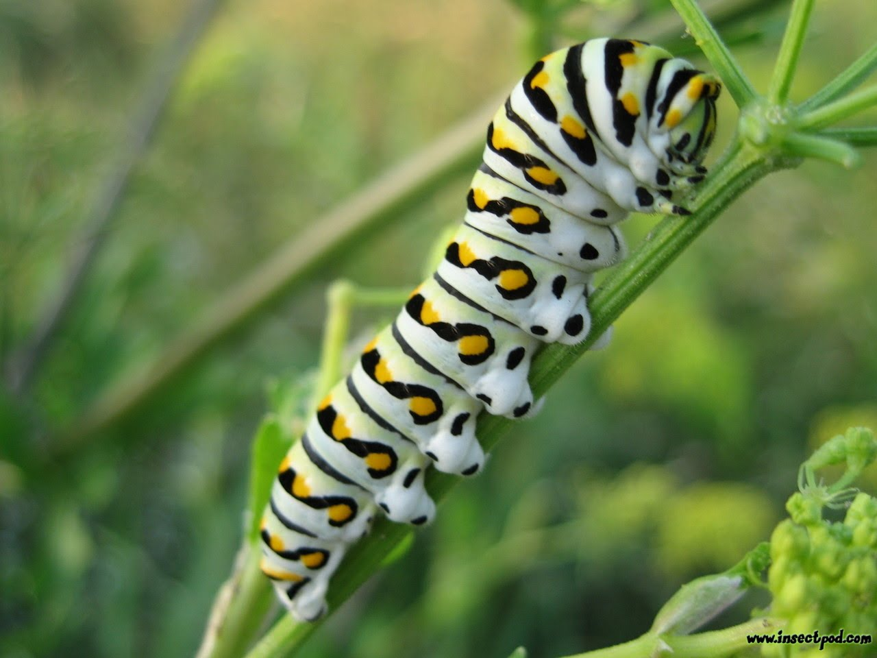 Golden Plains Area Horticulture  Black Swallowtail Caterpillar