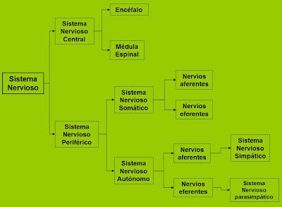 Embriologia del sistema nervioso mapa conceptual