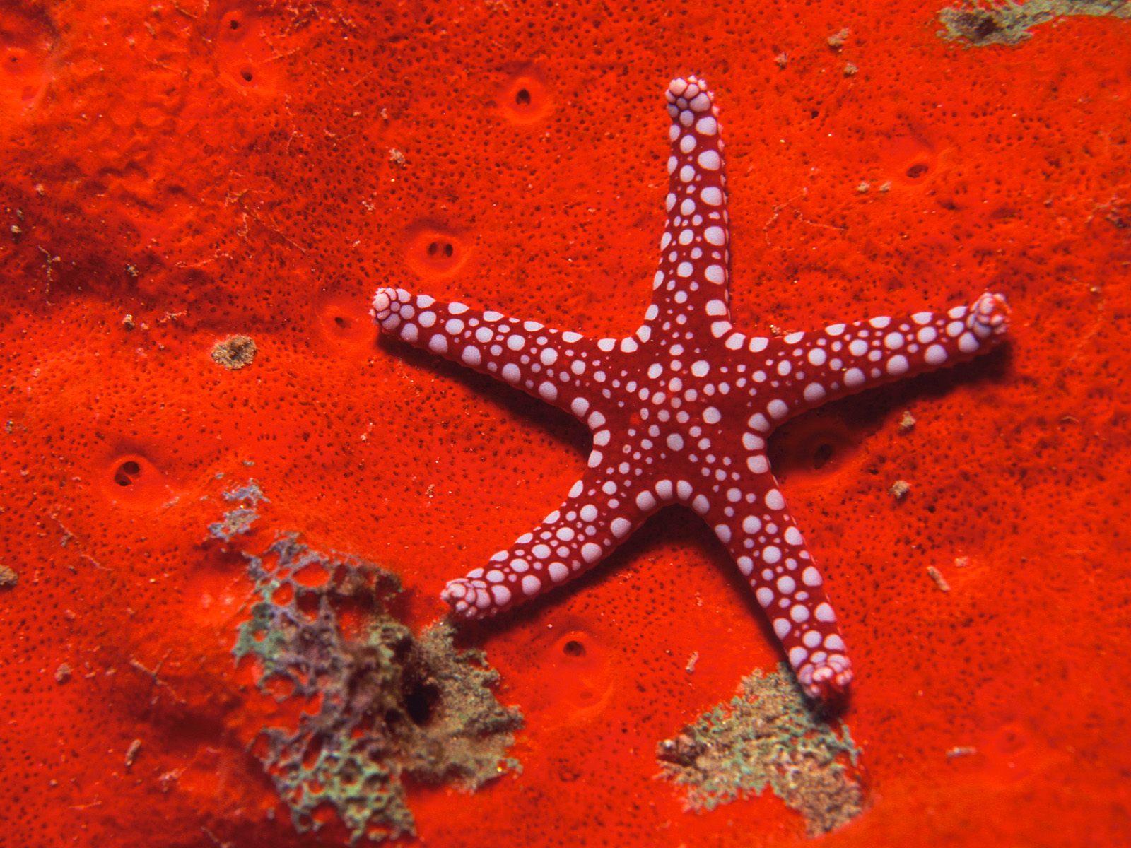 http://2.bp.blogspot.com/_RKDu4pqM0bQ/TVBFAcV0C1I/AAAAAAAAADY/0hK4bpeX_Ng/s1600/Red+starfish.jpg