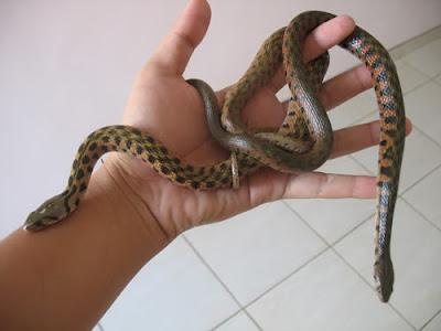 reptilia snake - Ular Bandotan Tutul