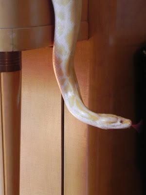 Reptil mania - Phyton reticulatus