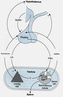 Prolactin therapy