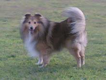 SPOT (Shetland Sheepdog)