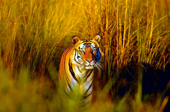food chain tiger. food chain tiger. peak of the