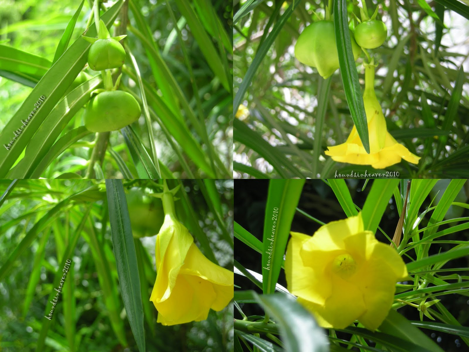 lui is in heaven could this be a yellow bell flower. Black Bedroom Furniture Sets. Home Design Ideas