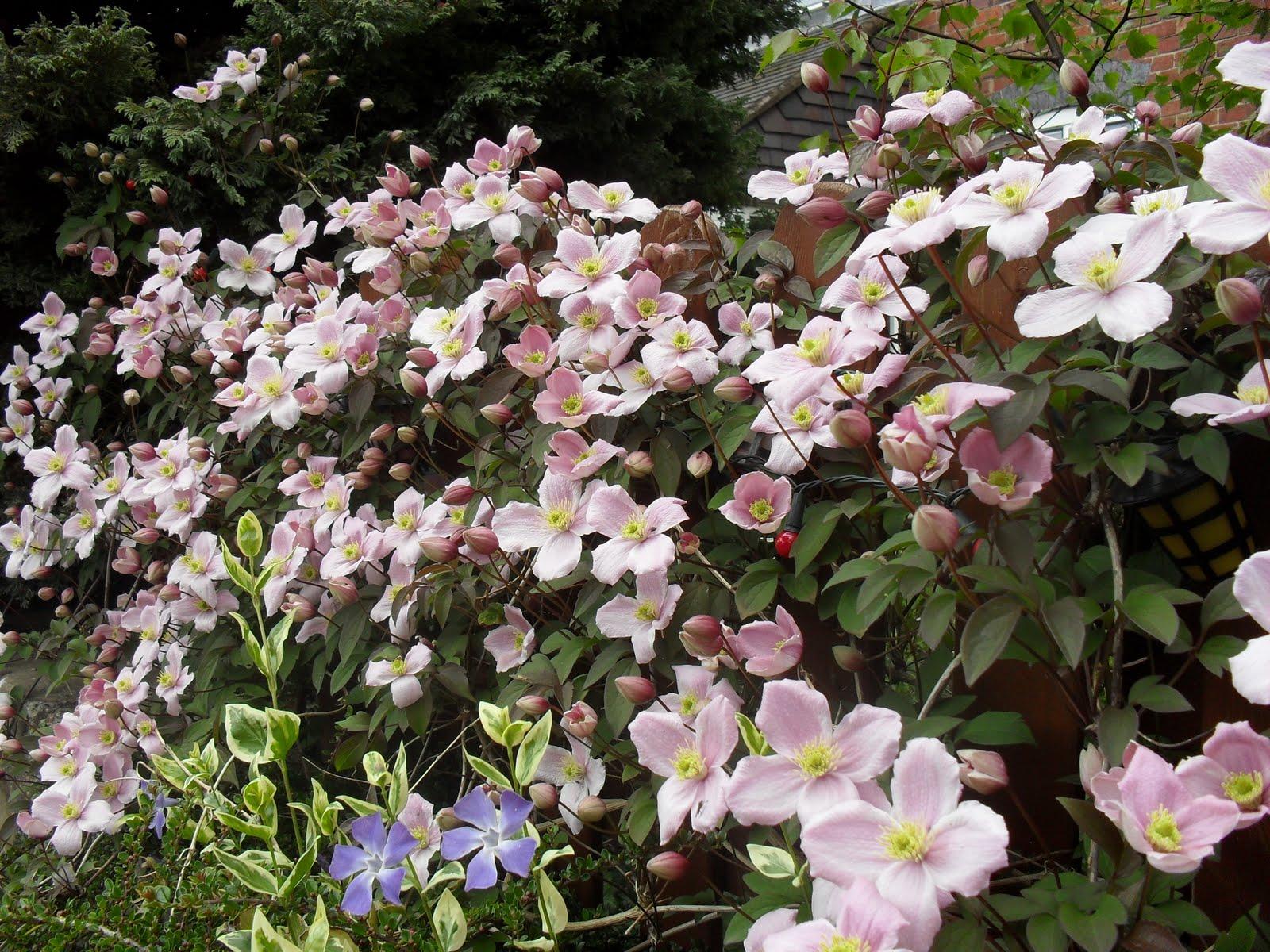 Holly Grove Garden Spring Flowering Climbers