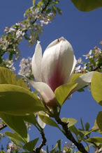 Magnolia soulangiana 'Lennei'