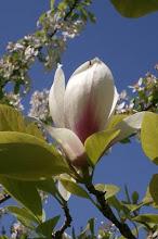Magnolia soulangiana 'Lennei'