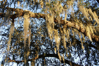 Click for Larger Image of Oak and Spanish Moss