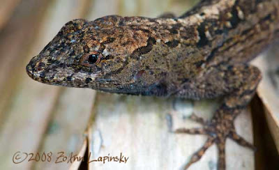 Click for Larger Image of Brown Lizard