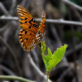 Click for Larger Image of Butterfly